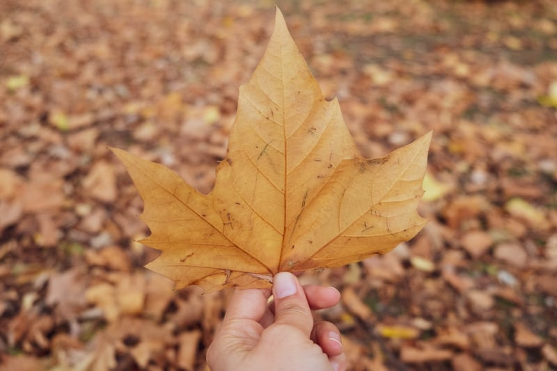 person holding brown leaf in the fall